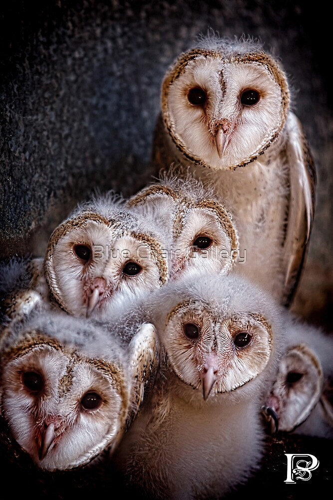 Barn Owl Chicks by Blue Chair Gallery