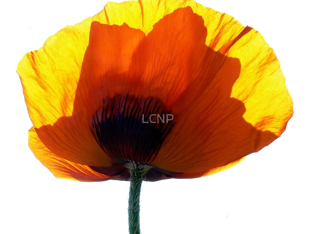Poppy in My Day Colours by LCNP
