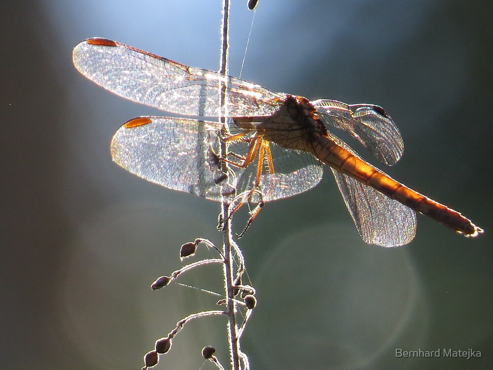 dragonfly in backlight - libélula en contraluz by Bernhard Matejka