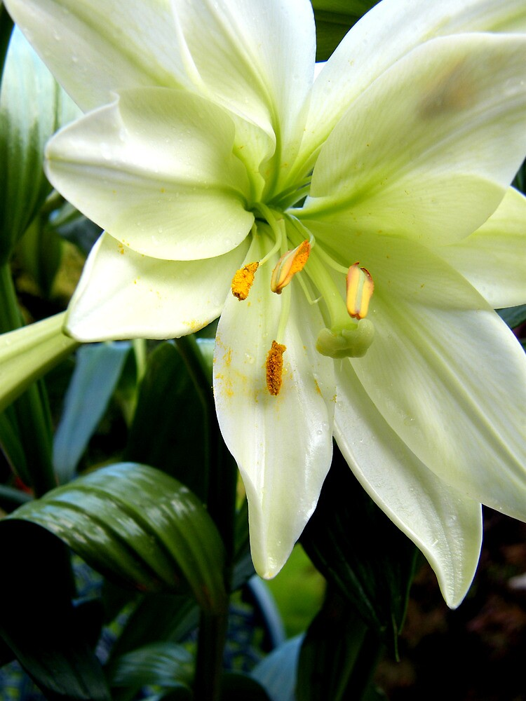 Lily 1325 by KAREN COLEBECK