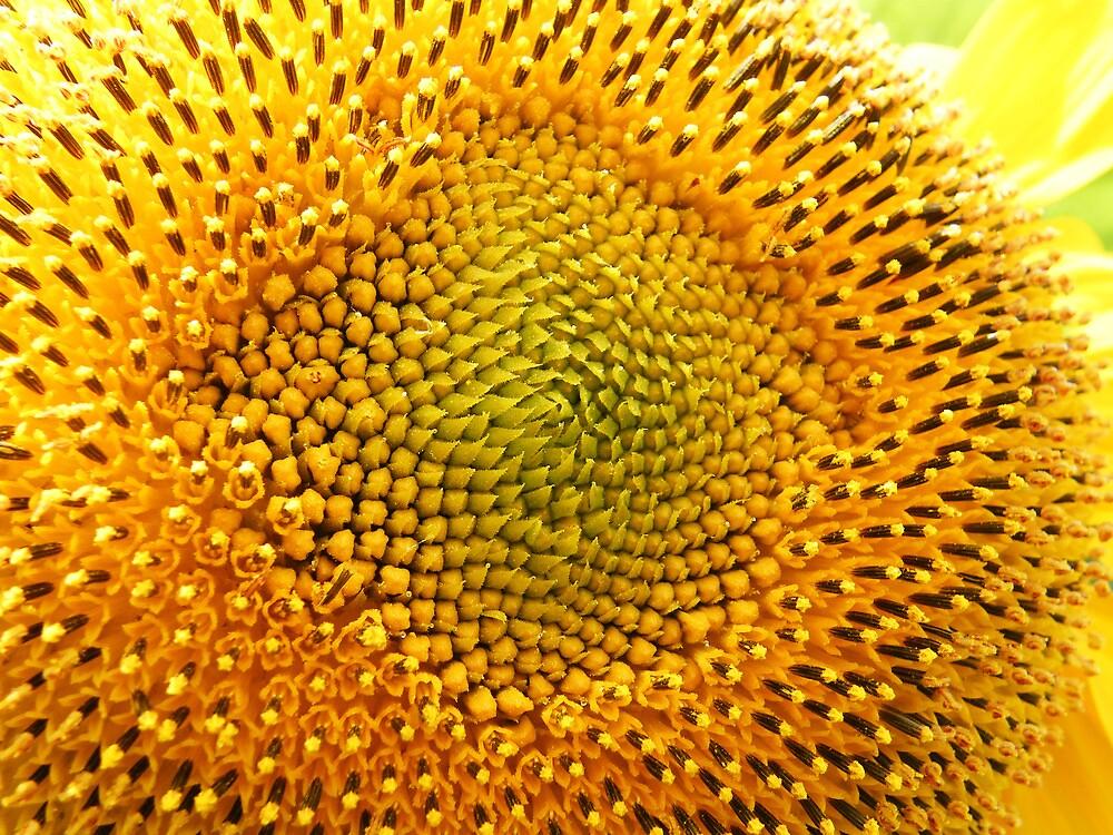 Sunflower 1578 by KAREN COLEBECK