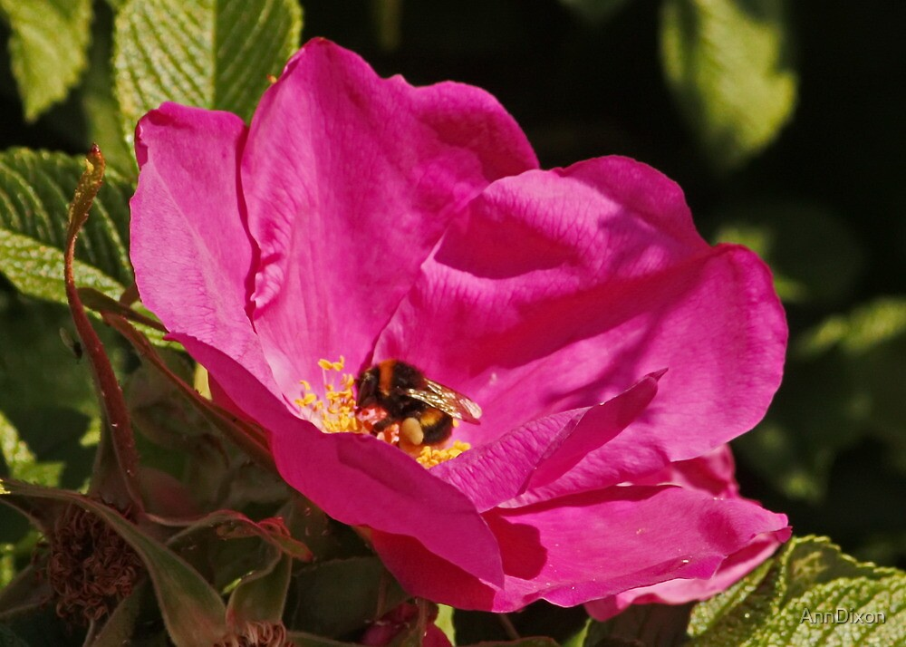 Dog Rose and Bee by AnnDixon