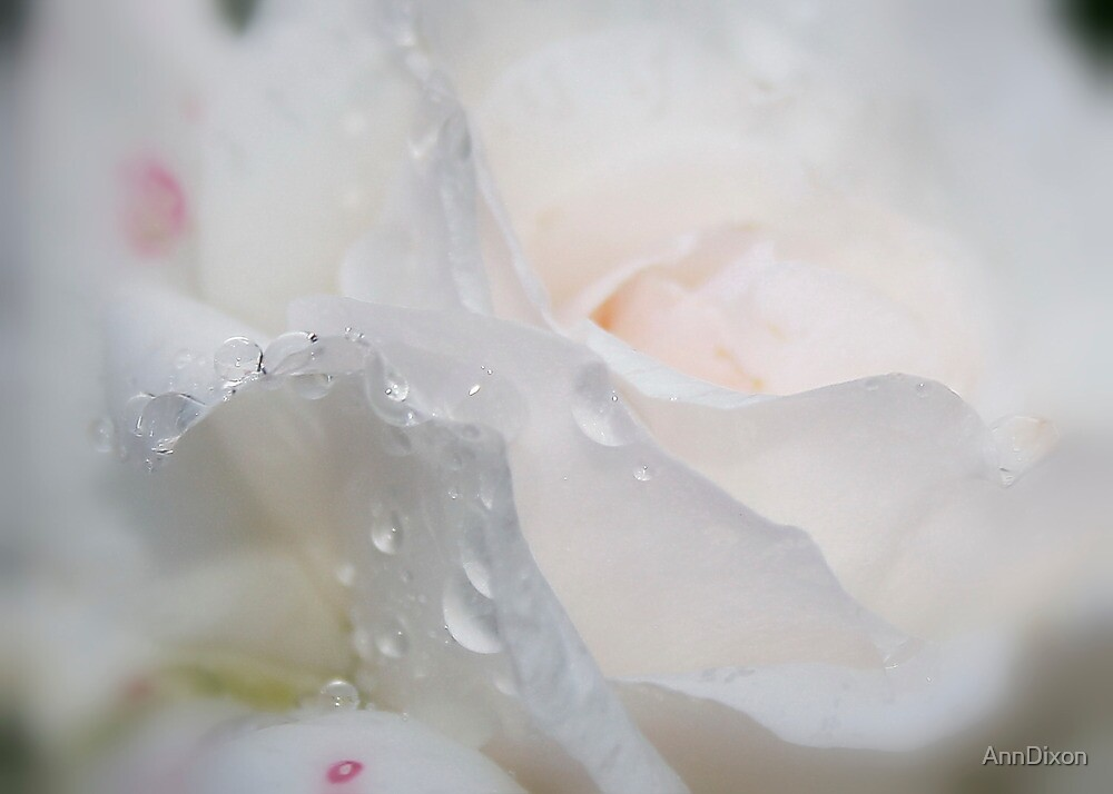 Delicate Rose by AnnDixon