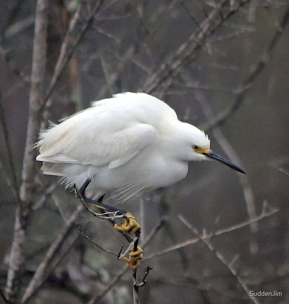 Snow Egret by SuddenJim