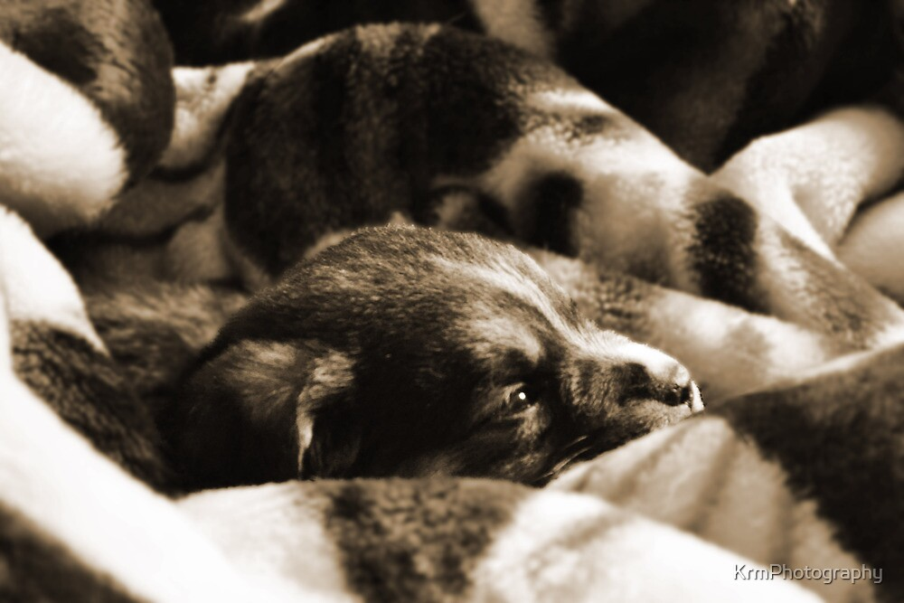 Puppy by KrmPhotography