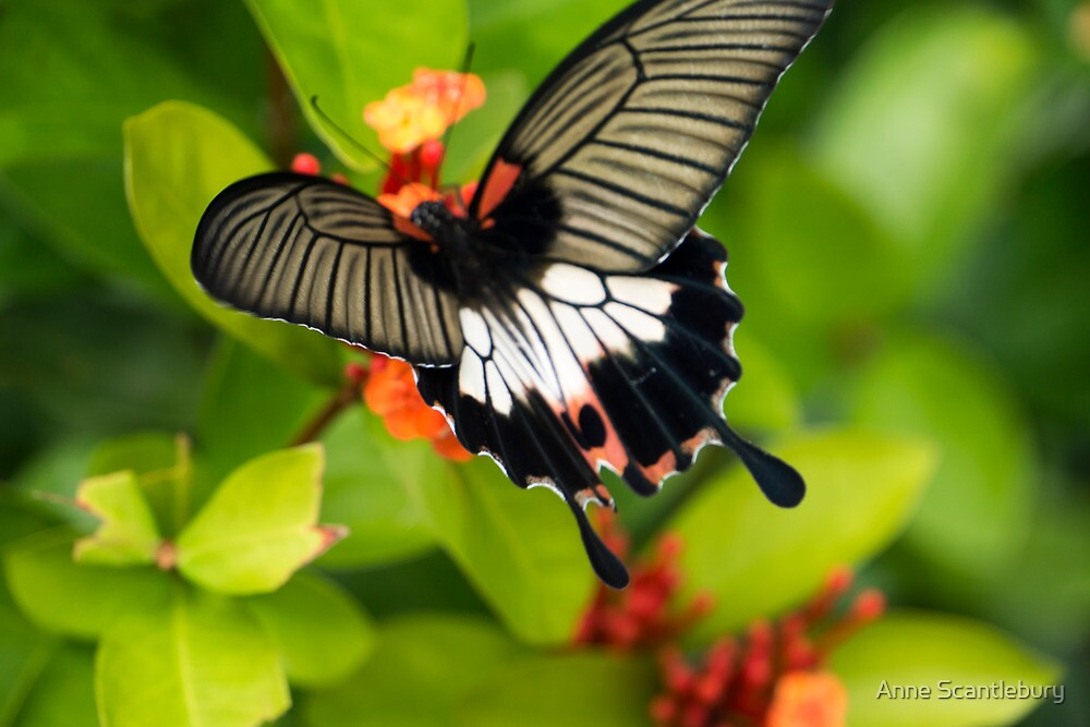 butterfly by Anne Scantlebury