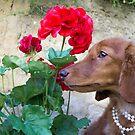 Poor man's rose by Sarah Guiton