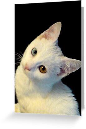 Cute White Turkish Van Kitten by MoMoCards