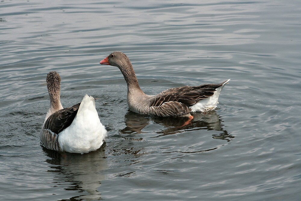 Two Geese on a Lake by rhamm