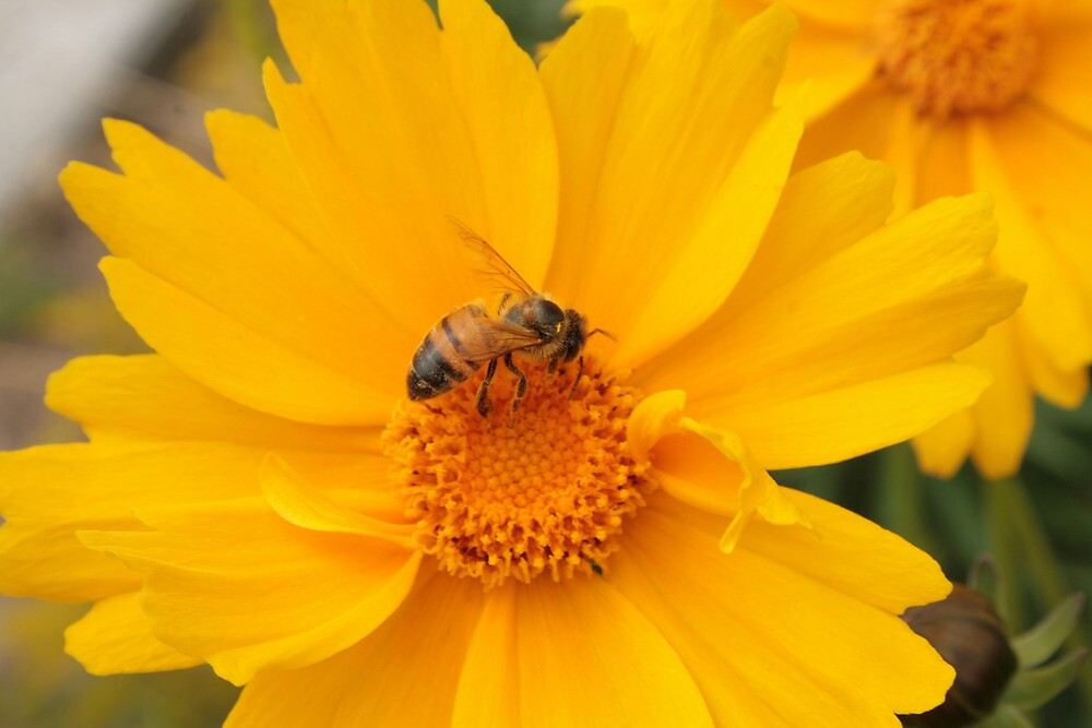 Bee Pollinating Yellow Flower by rhamm