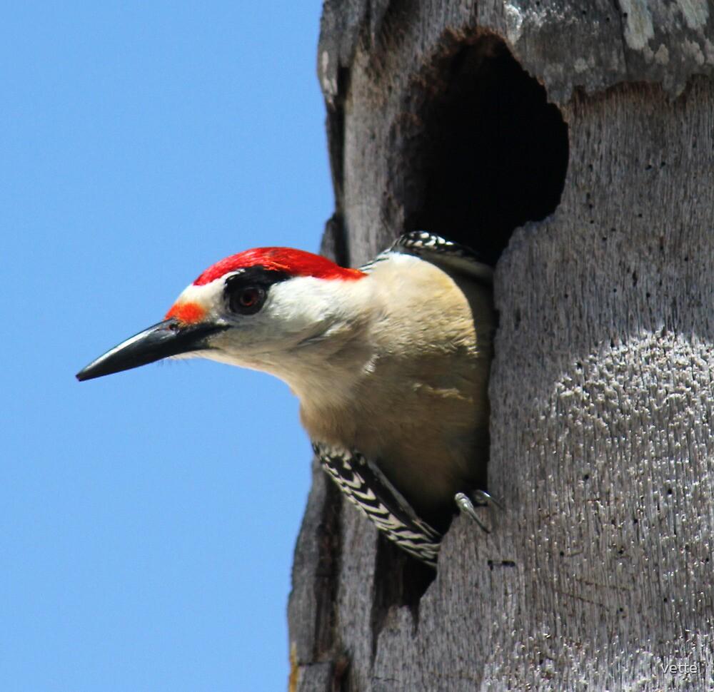 Woodpecker a Peaking by vette