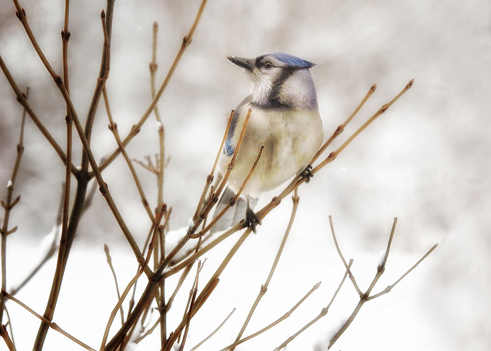 Winter Bluejay by SueCapuano
