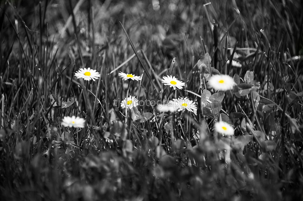 Daisy´s  by tj-photography