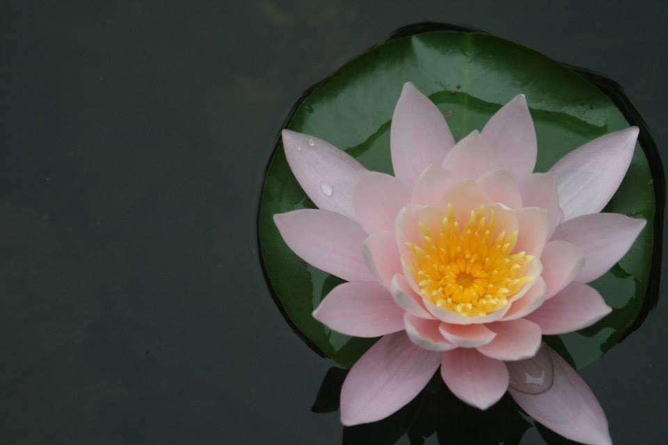 Lily..pad by acraig488