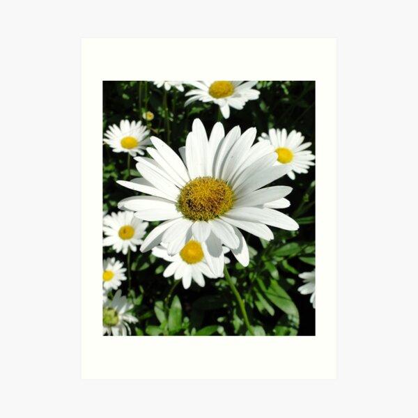 Beautiful Daisy. Art Print