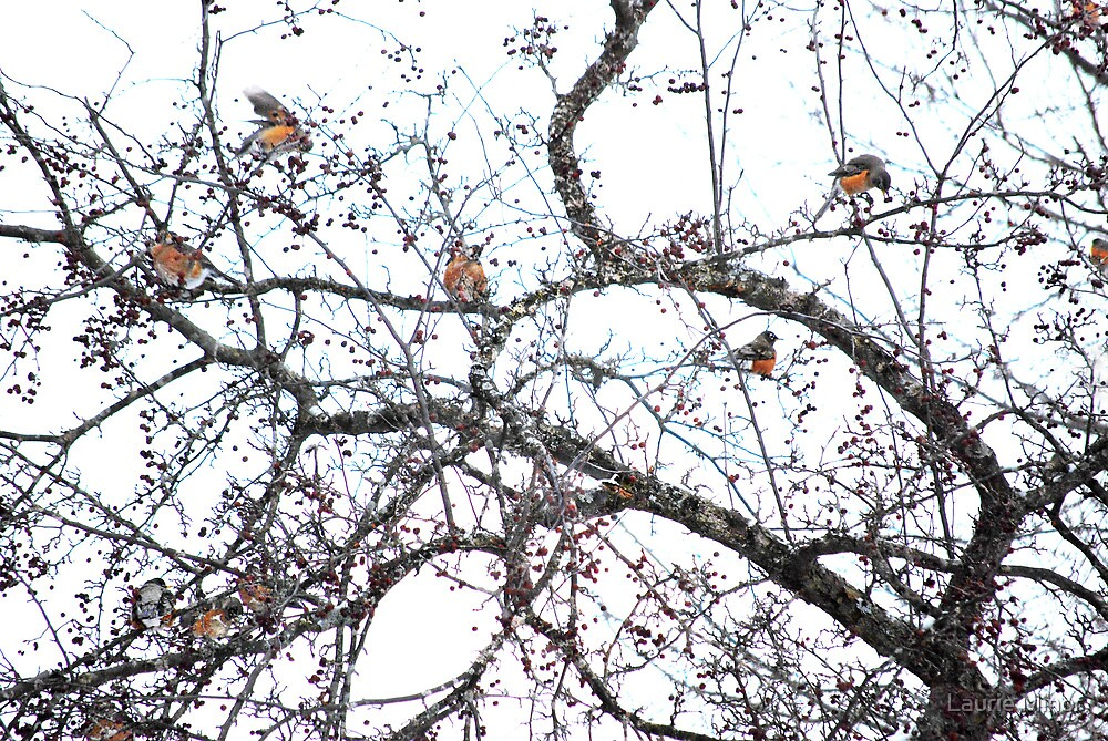Flock of Robins in Winter by Laurie Minor