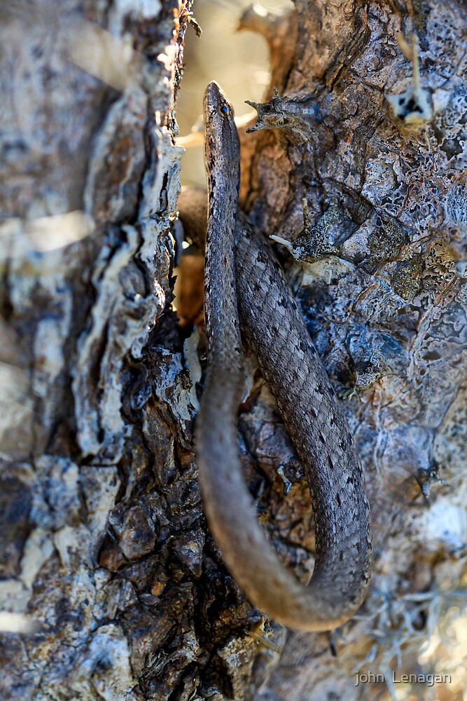 Spiny Forest Tree Snake ( Mimophis  Mahfalensis)  -  Ifaty   Madagascar by john  Lenagan