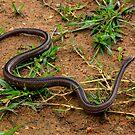 Common Grass  Snake (Liophidium chabaudi ) central ranges - Madagascar by john  Lenagan