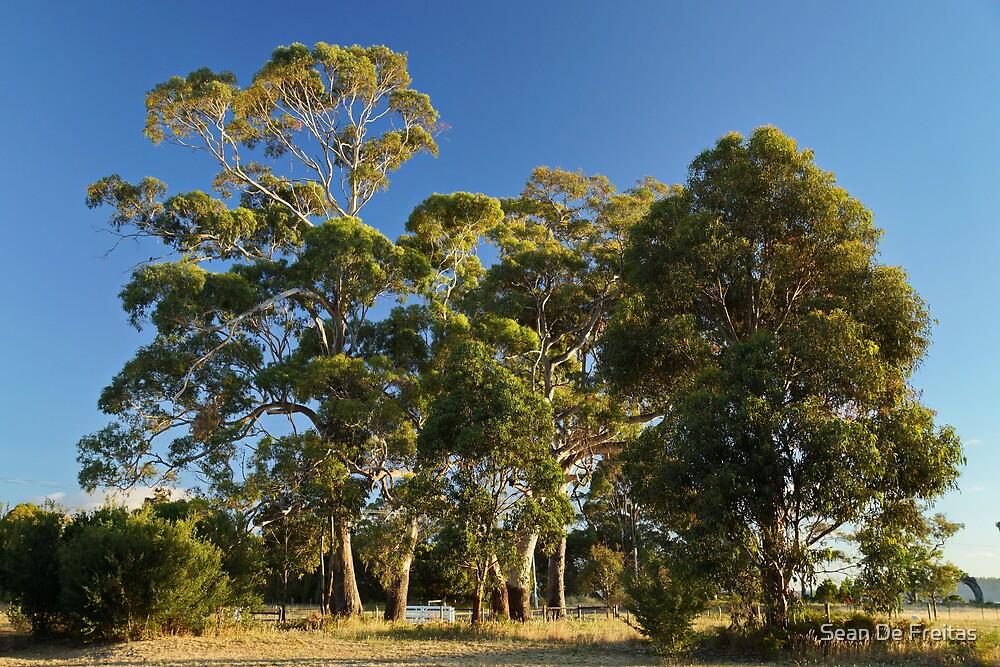 Sidelit gum trees at South Arm - Tasmania, Australia by PC1134