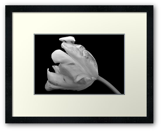 Monochrome Parrot Tulip. by Terence Davis