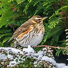 Roosting Redwing by MikeSquires