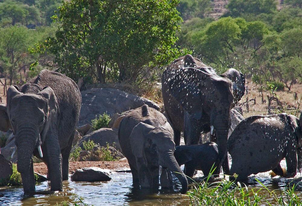 Cooling Watering Hole  by phil decocco