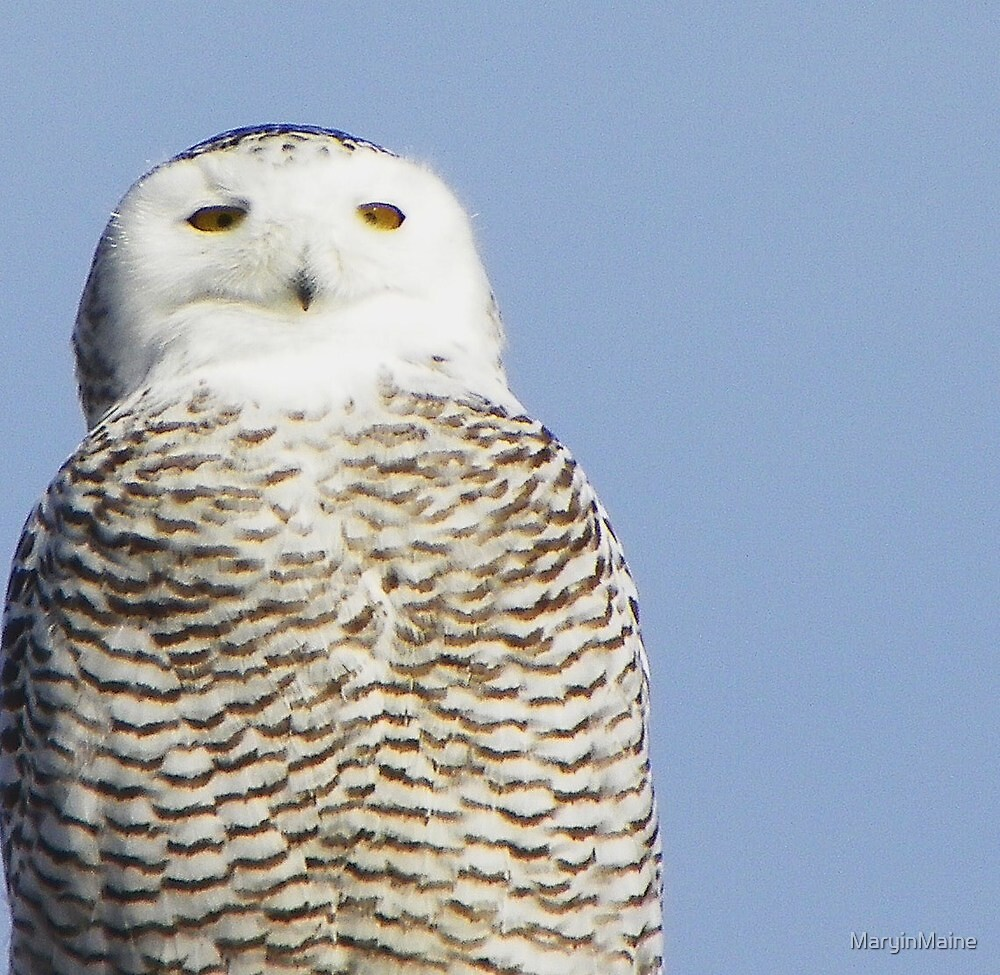 Snowy Owl - Biddeford, Maine by MaryinMaine