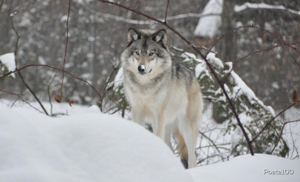 Snowy Nose - Timber Wolf aka Grey Wolf by Poete100