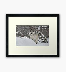 Snowy Nose - Timber Wolf aka Grey Wolf Framed Print