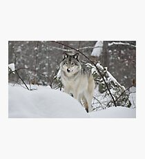 Snowy Nose - Timber Wolf aka Grey Wolf Photographic Print