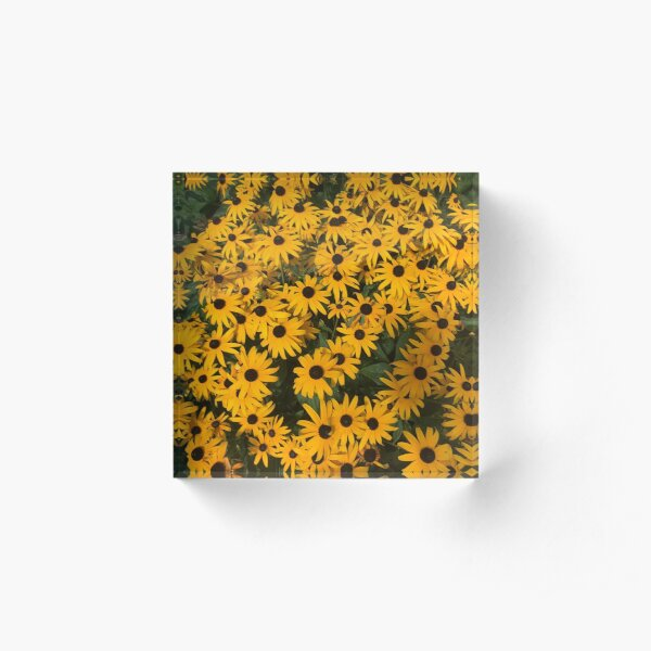 Black-eyed Susans galore Acrylic Block