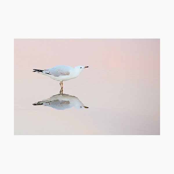 gull ripple Photographic Print