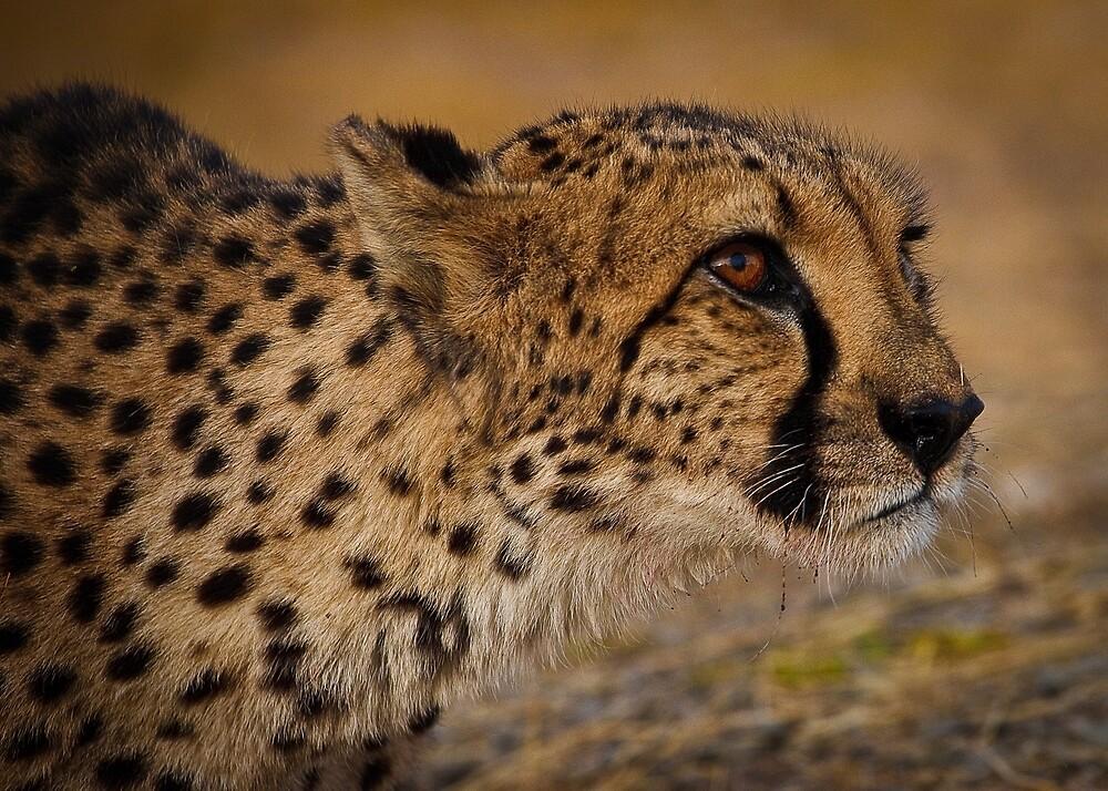 Cheetah ready to pounce by Robert van Koesveld