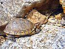 Box Turtle by FrankieCat