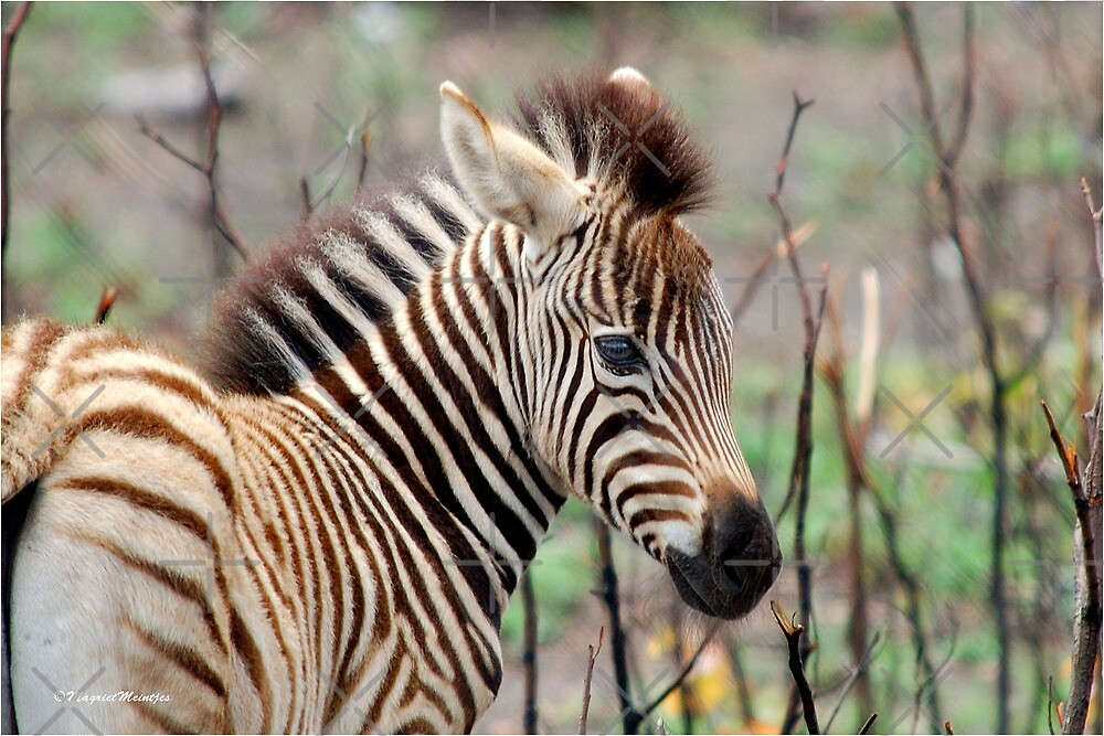 NEW TO THE WORLD - BABY ZEBRA -  BURCHELL'S ZEBRA – Equus burchelli – Bontkwagga by Magriet Meintjes