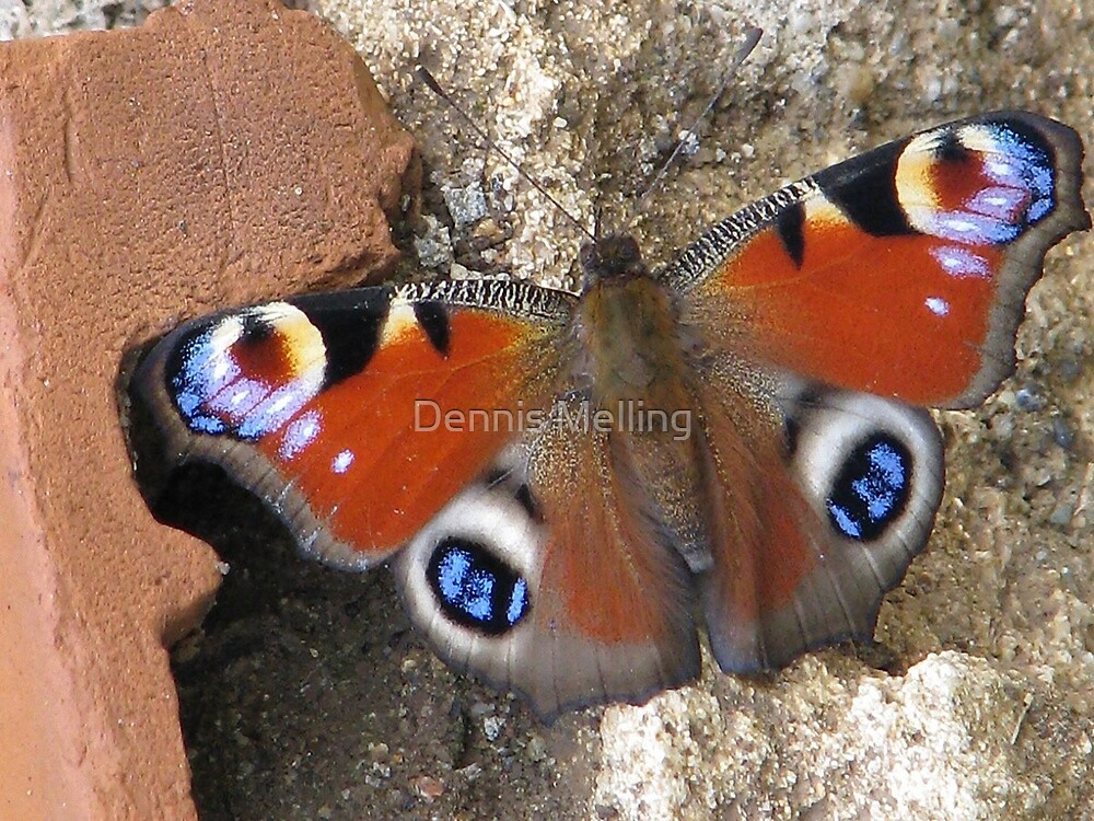 The European Peacock Butterfly  Inachis io by Dennis Melling