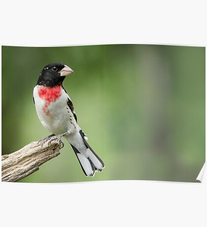 Looking Back - Male Rose-breasted Grosbeak (Spring visitor to area) Poster