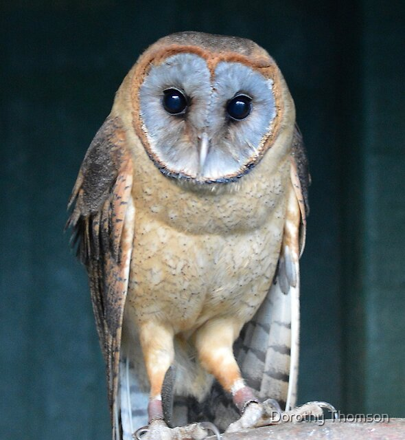 Taino  Ashy  Faced Owl by Dorothy Thomson