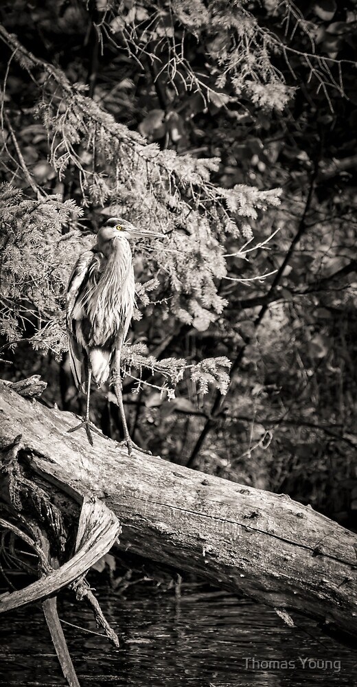 Black and White Great Blue Heron 2013-1 by Thomas Young