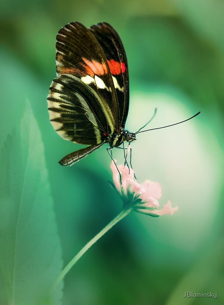 Red and black butterfly on white flower by JBlaminsky