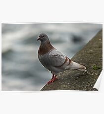 Brown Pigeon Poster