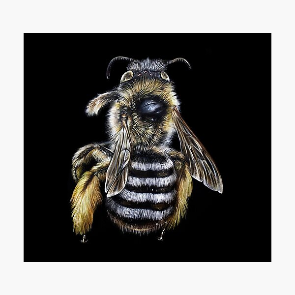 Hairy Footed Flower Bee Illustrations Photographic Print