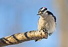 Male Downy Woodpecker on Limb by Kenneth Keifer