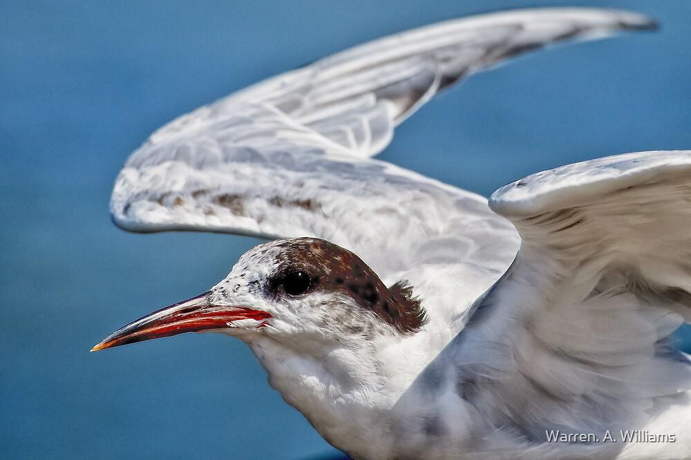 Sandwich Tern by Warren. A. Williams