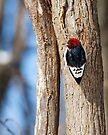 Red-Headed Woodpecker on Tree Tunk by Kenneth Keifer
