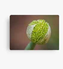 Family of the onion Canvas Print