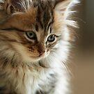 Beautiful Kitten by Argos1