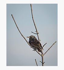 Isolated Winter Starling Photographic Print