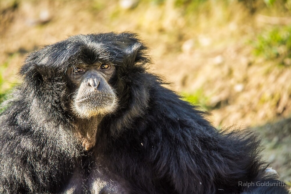 Portrait of a Siamang by Ralph Goldsmith