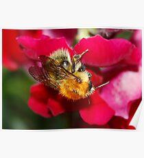 Bumble Bee on Antirrhinum Poster